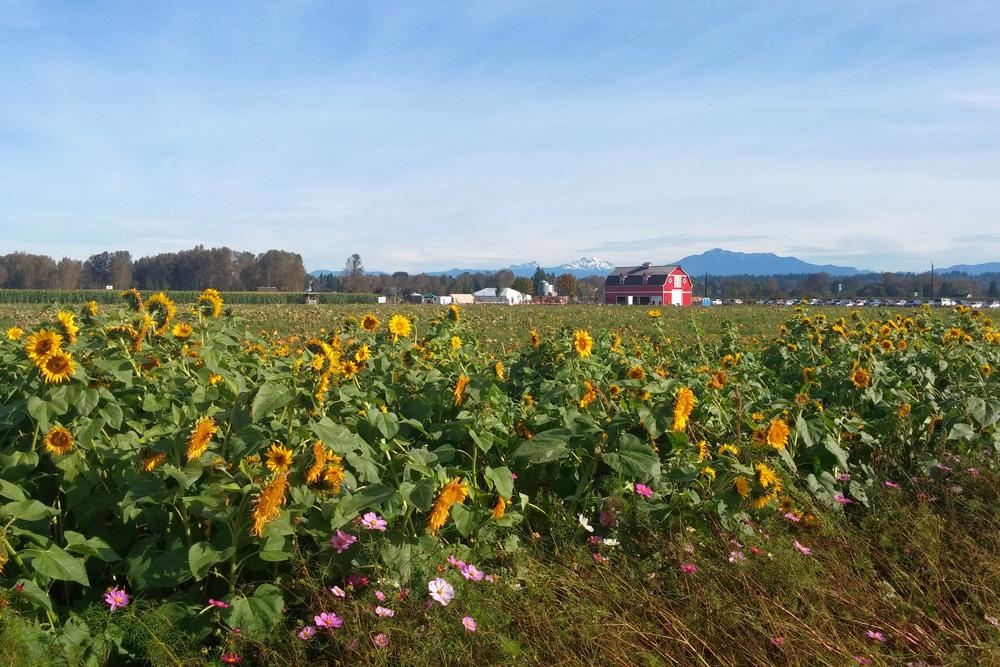 farm field of sunflowers
