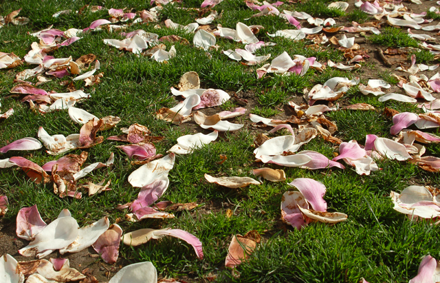 magnolia petals on grass philadelphia blessing your body