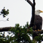clean your nest bald eagle san juan island