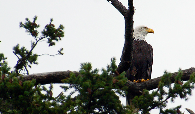 exercise your life clean your nest bald eagle san juan island