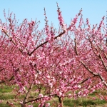 seasonal allergies blossoming trees
