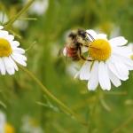 bee on chamomile flower