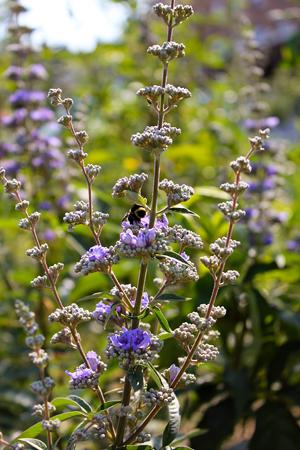 vitex vitux agnus castus flowering herb of the month