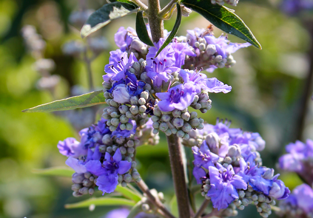 vitex vitux agnus castus flowering herb of the month