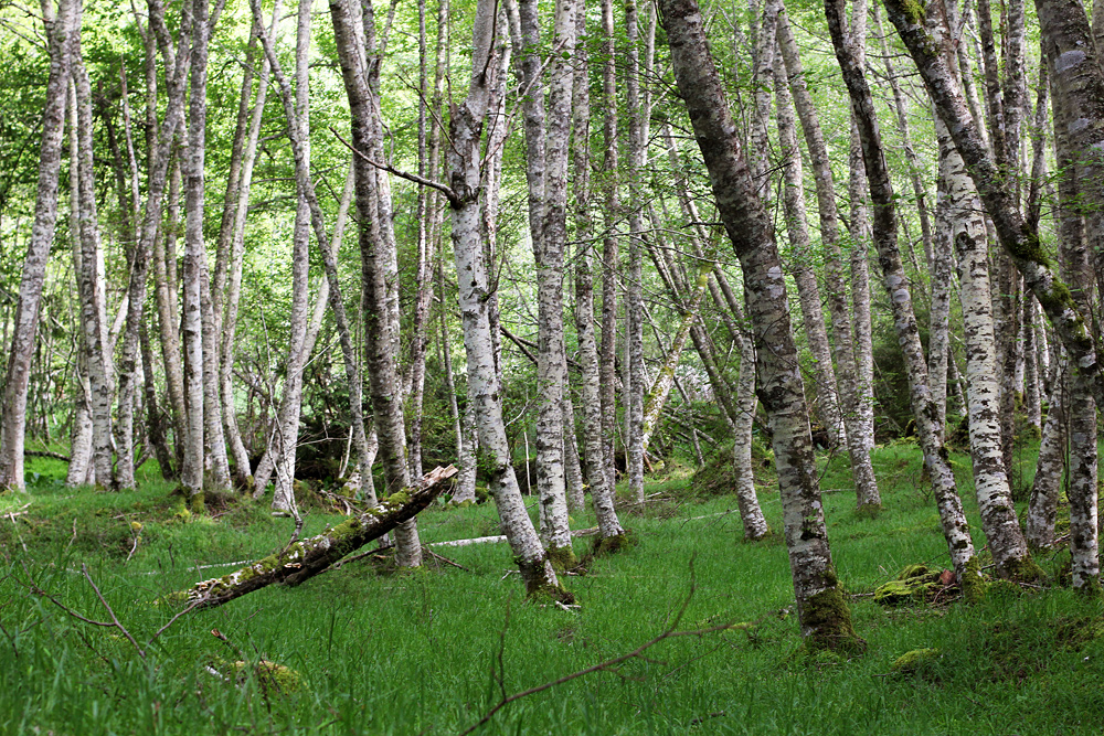 white birch trees in the woods