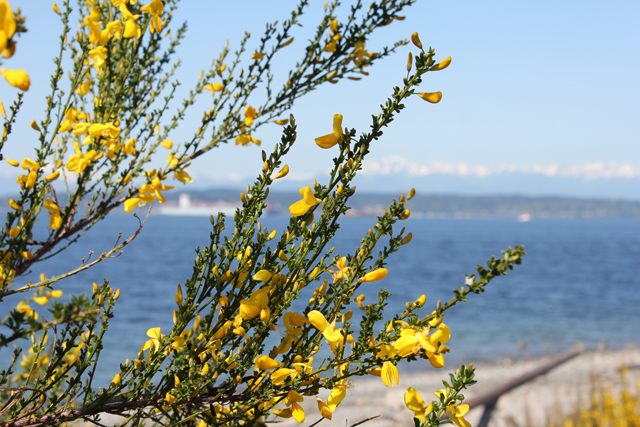 Scotch Broom herb of the month cytisus scoparius