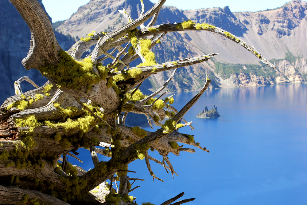 mossy tree roots over Crater Lake