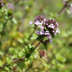 thyme thymus vulgaris herb of the month